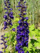 Delphinium Black Knight Appx 50 seed
